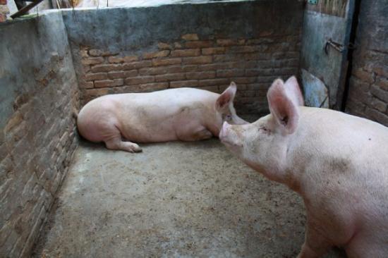I maiali della fattoria